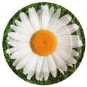 Assiettes marguerite carton 22.5 cm les 10